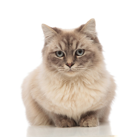 cute grey furry cat with blue eyes lying on white background looks to side
