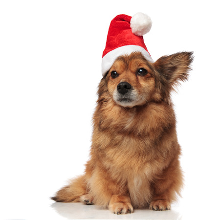 adorable brown metis dog with santa cap covering one ear looks to side while sitting on white background