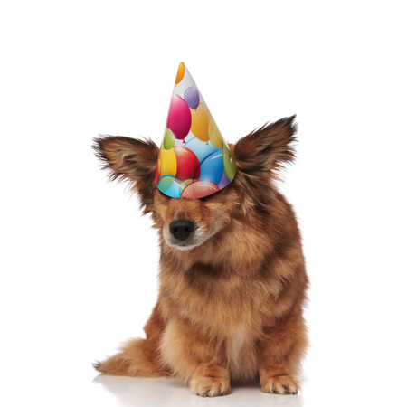 funny brown metis dog wears colorful birthday hat that covers its eyes while sitting on white background