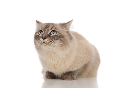 surprised grey cat with blue eyes looks up while lying on white background