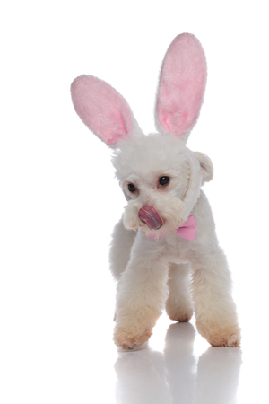 elegant bichon with bunny ears licking its nose while standing on white background and looking down to side Banque d'images