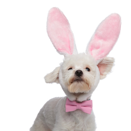 portrait of curious classy bichon with pink bunny ears looking up on white background