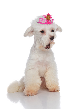 shocked bichon wearing a pink crown looks to side while sitting on white background