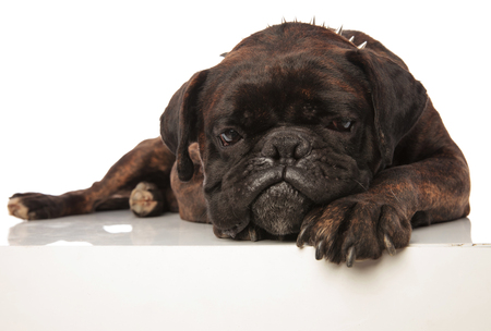depressed black boxer with spiked collar lying Stock Photo