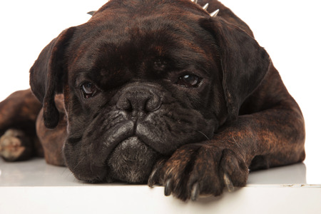 close up of cute little bored black boxer lying on white background and looking to side