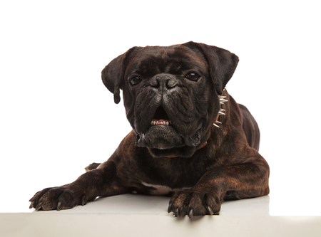 funny black boxer with spiked collar looking shocked while lying on white background
