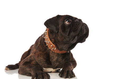 cute and curious black boxer lying on white background looks up to side while wearing a brown leather spiked collar