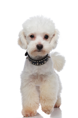 adorable white bichon wearing black spiked collar stepping on white background Stock Photo