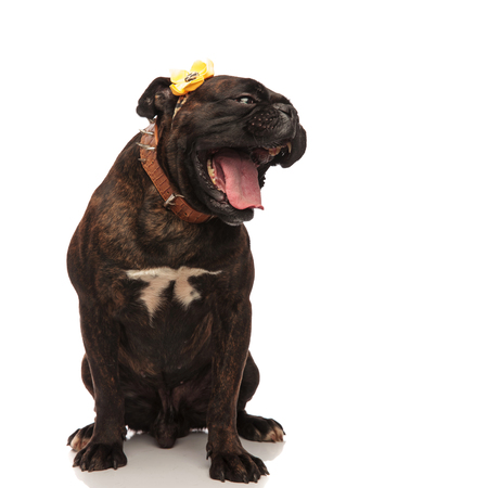 funny boxer with yellow flower on head and mouth open looking to side while sitting on white background. It wears a brown spiked collar