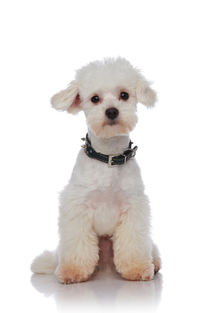 adorable fluffy bichon with spiked black collar sitting on white background