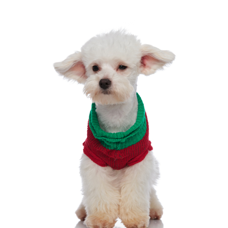 curious bichon wearing a chirstmas sweater looks to side while sitting on white background