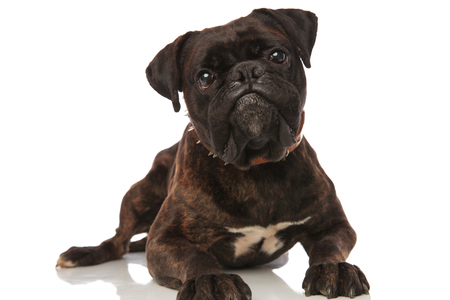 cute black boxer with brown leather spiked collar lying on white background