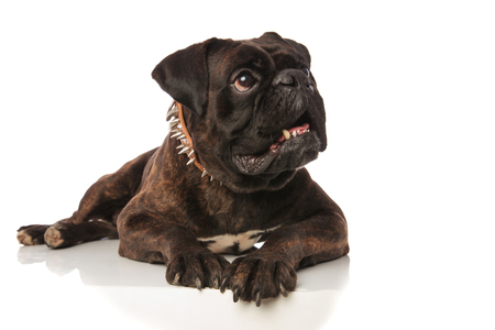 scared black boxer lying looks up to side while lying on white background with a brown spiked collar