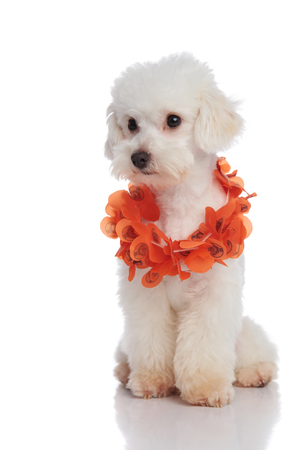 curious bichon wearing orange flowers garland looks to side while sitting on white background