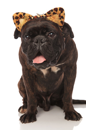 cute panting black boxer wears leopard ears headband for Halloween while sitting on white background Stock fotó