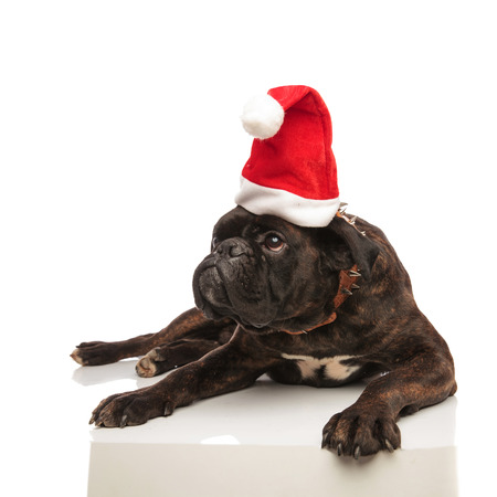 adorable black boxer with santa hat and spiked brown collar looks to side while lying on white background