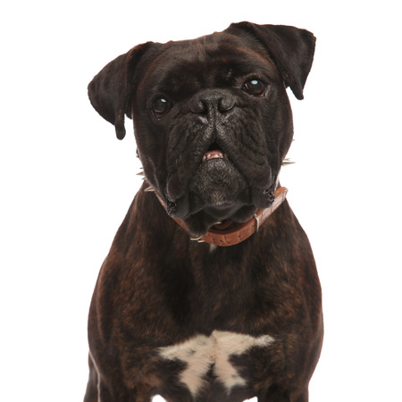 close up of adorable black boxer with mouth open and a spiked brown collar, standing on white background Stock Photo