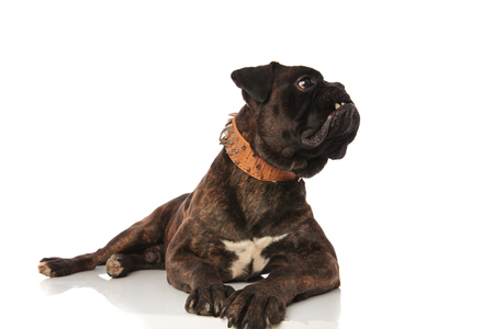 adorable black boxer lying on white background with a brown leather spiked collar looks up to side Stock Photo