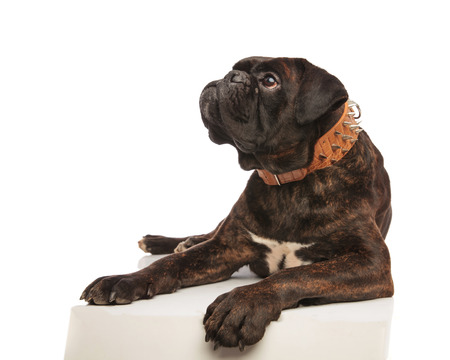 curious boxer with brown spiked collar looks up to side while lying on white background with paws hanging