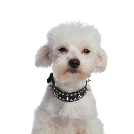 close up of cute bichon wearing a spiked collar on white background and looking funny Stock Photo