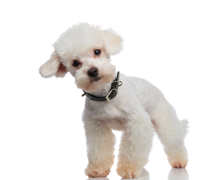 curious bichon standing on white background and leaning to side while wearing a black spiked collar