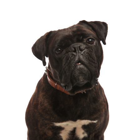 close up of adorable black boxer wearing a brown spiked collar while sitting on white background