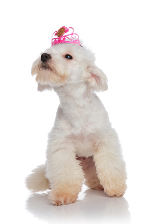 curious bichon looking up to side while wearing pink crown and sitting on white background