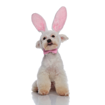 funny small bichon dressed elegantly for easter pulls tongue out while sitting on white background and looking up to side Banque d'images