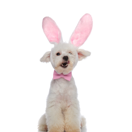 elegant bichon sitting on white background is shocked that easter was canceled, having mouth wide open