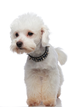 curious white bichon looking to side while standing on white background and wearing a black spiked collar