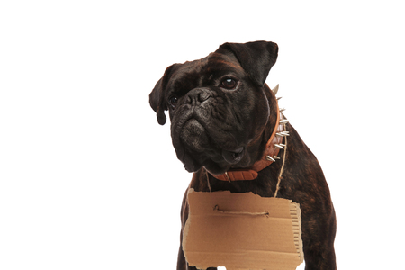 close up of curious boxer with empty sign looking to side while standing on white background and wearing a brown spiked collar Stock Photo