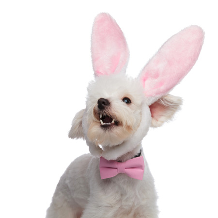 portrait of cute barking bichon being an elegant easter bunny. It wears a pink bowtie and a pair of pink bunny ears