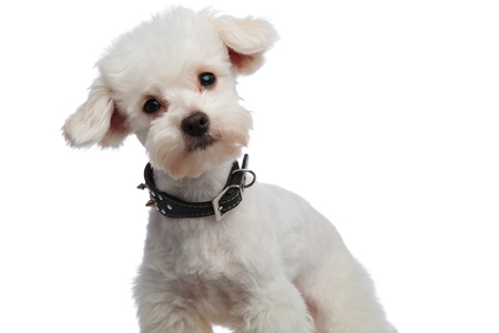 close up of lovely bichon with black collar leaning to side while standing on white background Stock Photo