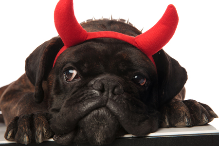 close up of curious black boxer with red devil horns looking to side while lying on white background with head on paws Stock Photo