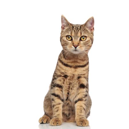 adorable tabby british fold cat with orange fur sitting on white background