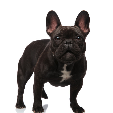 lovely french bulldog standing on white background and looking surprised Stock Photo