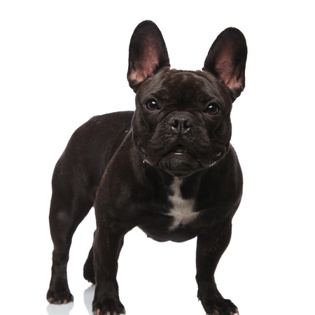 adorable black french bulldog with bat eyes standing on white background