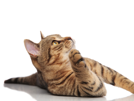 playful tabby british ford lying on white background and looking up to side with paw raised in the air