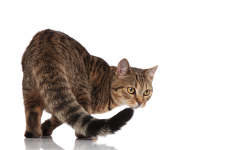 back view of cute british fold cat looking behind to side while standing on white background, picking up a scent