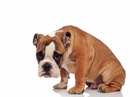 traurige englische Bulldogge, die auf weißem Hintergrund mit Kopf nach unten sitzt