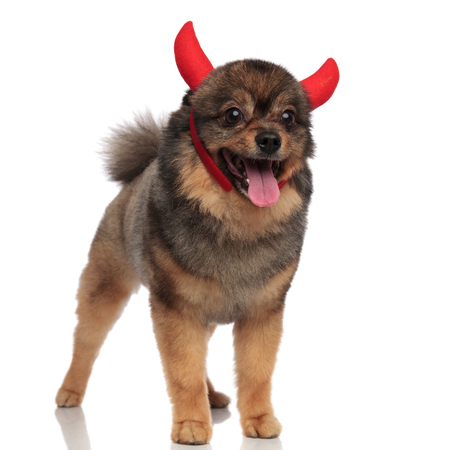 cute devil pomeranian standing on white background and looking to side Stock Photo
