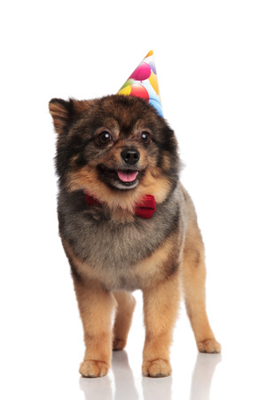 adorable birthday pomeranian with red bowtie looks to side while standing on white background and panting Stock Photo