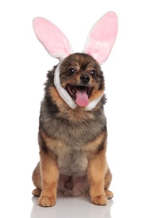 panting seated pom dressed as easter bunny looks to side on white background