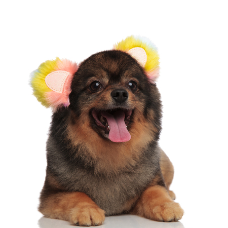 adorable panting pom with colorful ears headband lying on white background and looking to side