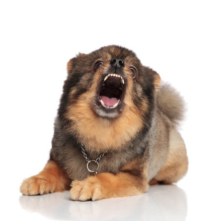 funny brown pomeranian with mouth open looking shocked while lying on white background Stock Photo