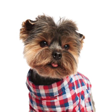 close up of classy yorkshire terrier wearing a colored elegant costume looking to side while panting and standing on white background Stock Photo