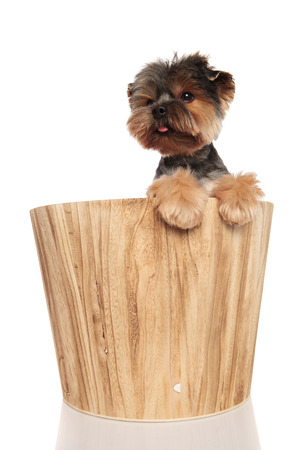 cute toy yorkie in wooden bucket with paws hanging looks to side on white background