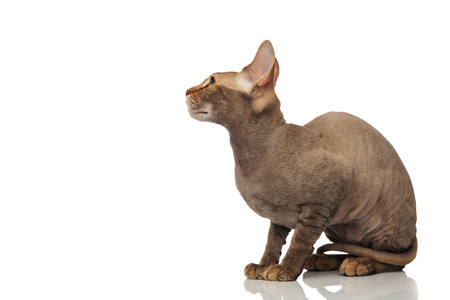 side view of seated metis cat looking up to side on white background