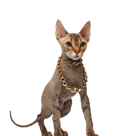 grey metis cat with golden chain around neck looks to side while standing on white background