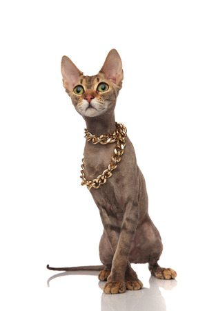 adorable metis cat wears gold necklace and looks to side while standing on white background